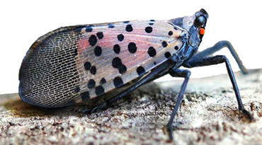 The spotted lanternfly is harmful to agriculture because it feeds on fruit-bearing plants and leaves a substance that attracts mold.