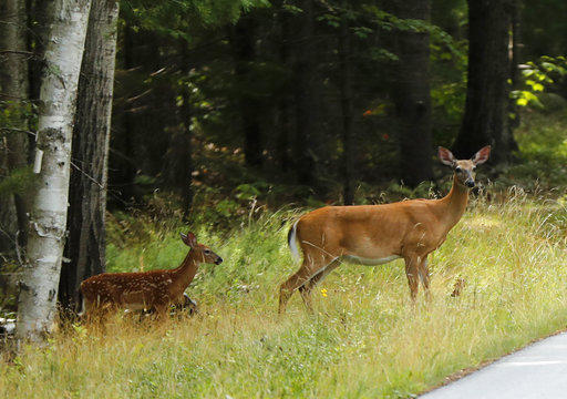In this July 31, 2018 file photo, a doe and two fawns prepare to cross a road near Bar Harbor, Maine. In Pennsylvania, game officials are probing the deaths of dozens of dear in two counties.
