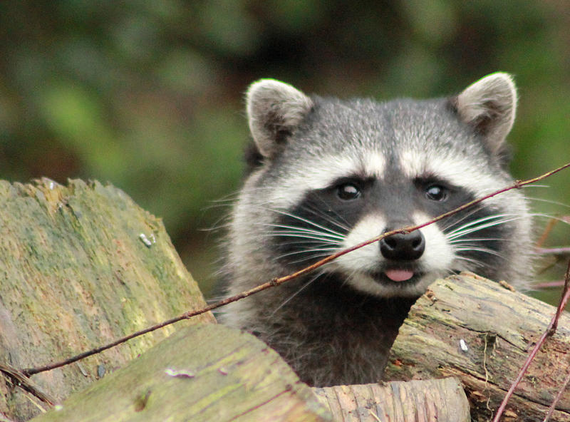 Health officials say two raccoons found in the Pittsburgh region have tested positive for rabies.