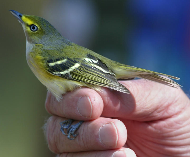 A white-eyed vireo is shown to a group in Fort Morgan, Ala. in this 2005 file photo. The Audubon Society says the vireo could be attracted by planting an Allegheny Service-Berry plant.