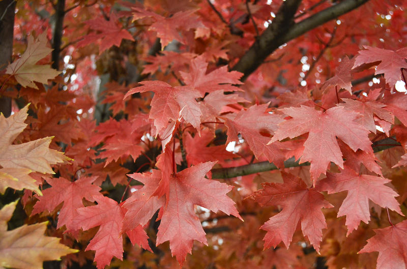 While this Pittsburgh maple tree shows a vibrant red this October, fungus killed many maple leaves across western Pennsylvania this year before they could change color.