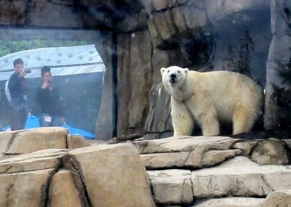 One of two polar bears at the Pittsburgh Zoo & PPG Aquarium