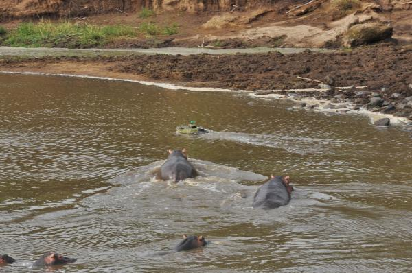 Hippos in Kenya's Mara River give chase to a Platypus robotic boat that is disguised as a crocodile. The boat was able to out-swim the hippos.