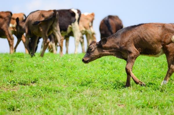 Cows graze at Manchester-Farms in Washington County.