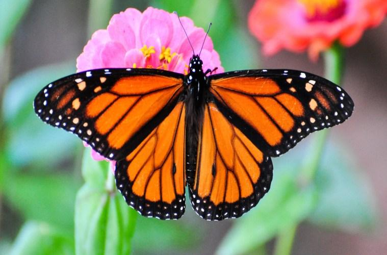 want to save monarch butterflies start planting milkweed 90 5 wesa