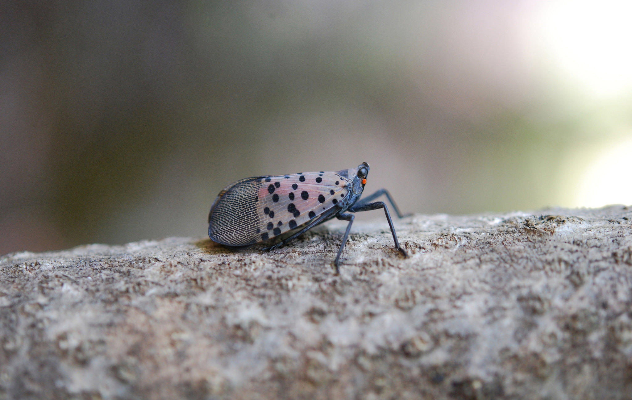 USDA Will Spend $17M To Fight Spotted Lanternfly, Invasive ...