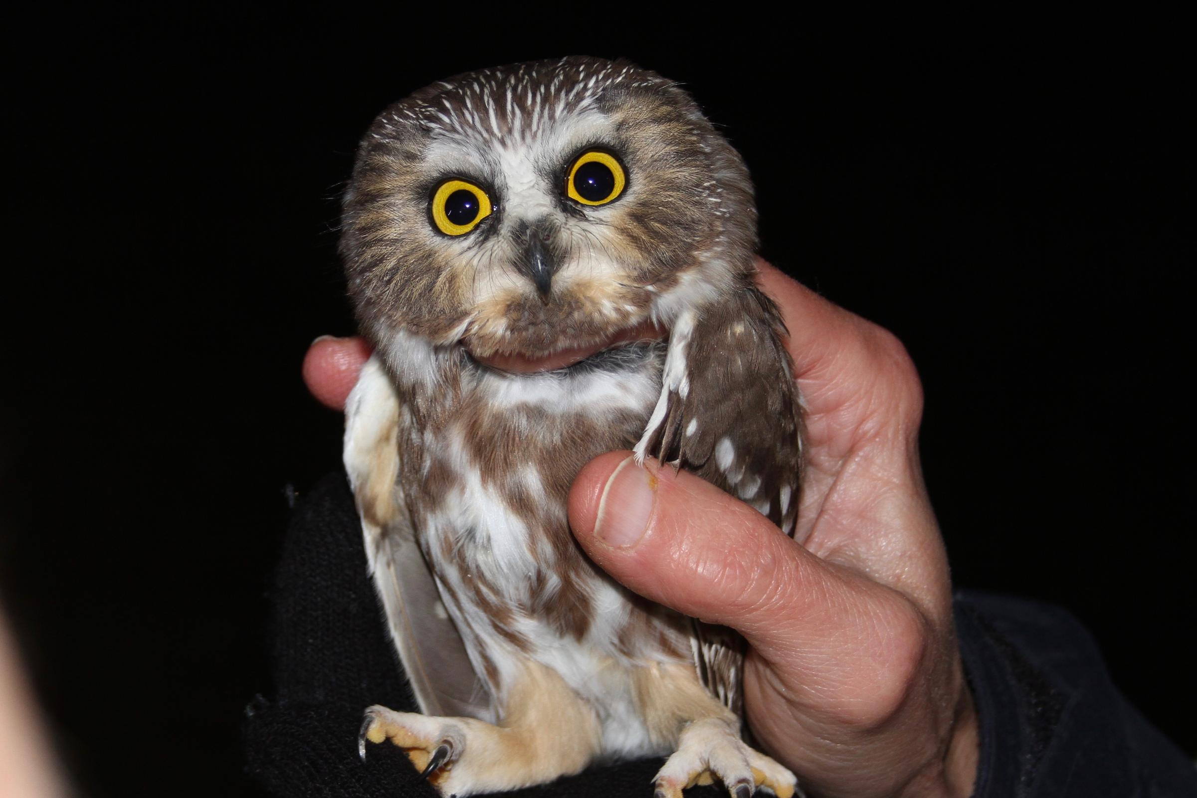 the lure of the saw whet owl 90 5 wesa