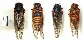 17-year periodic cicada M. septendecim
