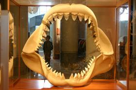 A replica of a megalodon shark's jaws