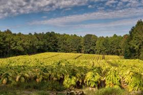 A tobacco field in Harnett County, N.C.