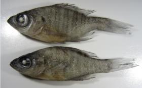 A picture of bluegill in Lemly's report. The report says the top bluegill's curved tail is abnormal, and indicative of deformities caused by selenium.