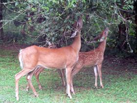 A pair of white-tailed deer grazing from a tree.