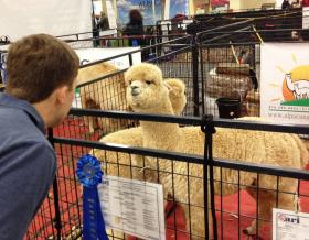 A visitor to the 8th Annual Carolina Alpaca Celebration stares at one of the convention's alpacas--which stares back.