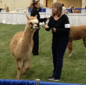 A judge inspects an alpaca.