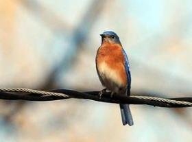 A Bluebird perches on a utility line outside the Charlotte Nature Museum.