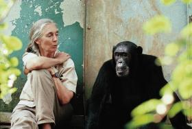Dr. Jane Goodall with Gombe chimpanzee Freud