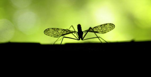 A mosquito, the tiny, unassuming carrier of West Nile Virus.