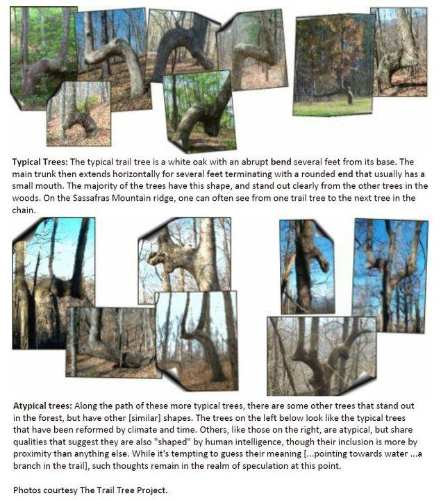 Examples of Native American trail trees. Click to enlarge.