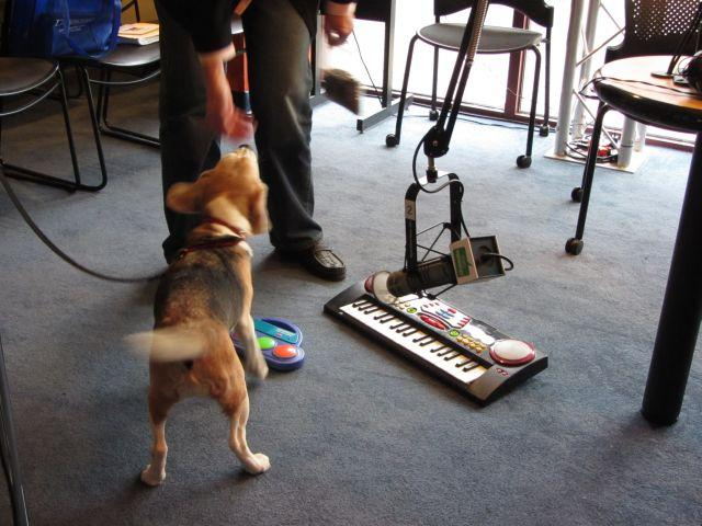 Dogs in the Charlotte Talks studio! 12-year-old Mary the Beagle attempting the keyboard.