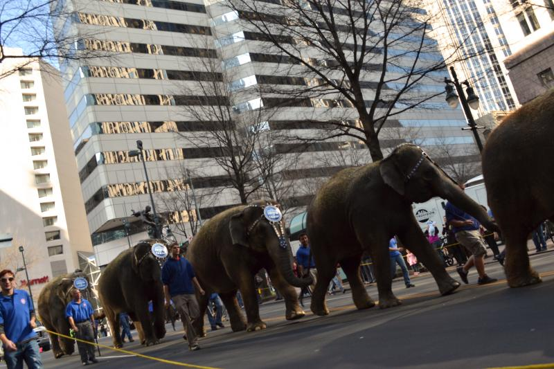 Elephants are escorted through Uptown on Tuesday January 29, 2013 as part of Ringling Brothers & Barnum and Bailey Circus Grand Animal Walk. The circus will be performing in Time Warner Cable Arena until Sunday.