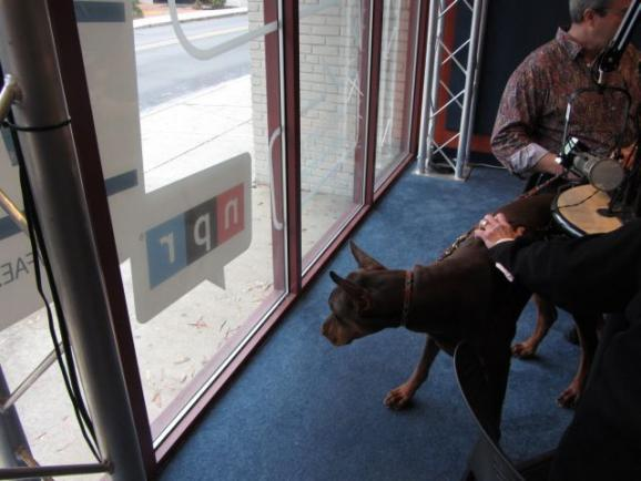 Dogs in the Charlotte Talks studio! Nine-month-old Kiser the Doberman.