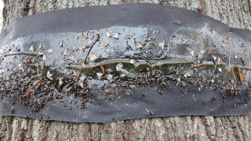 Up close view of cankerworms stuck on Tanglefoot on a willow oak tree outside the city's Landscape Management office.