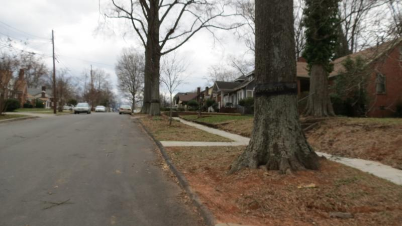 Trees along the street in Wesley Heights have black bands around them to trap cankerworms.