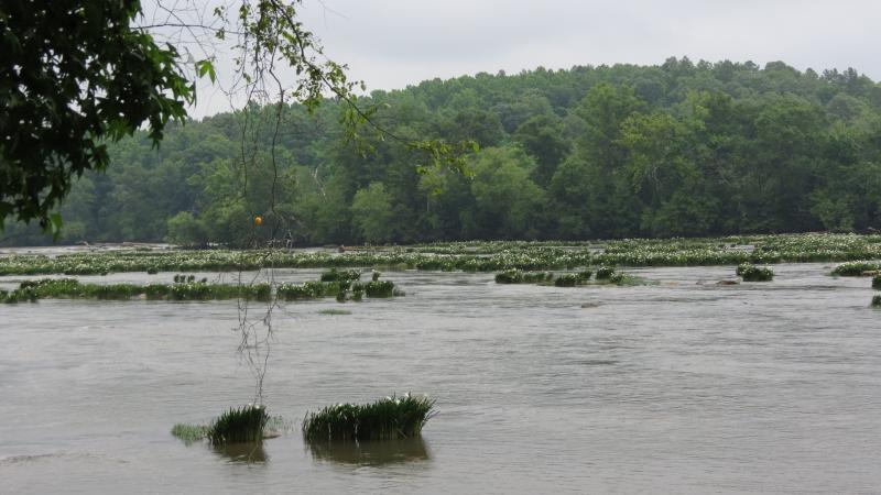 Spider Lilies on the Catawba River