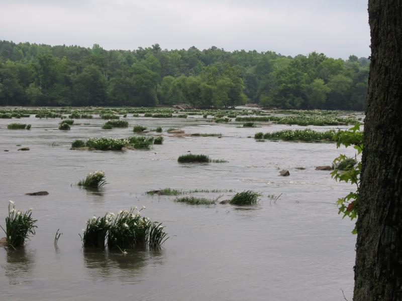 Rare shoals spider lilies (H. coronaria) on the Catawba River in Chester County, S.C.