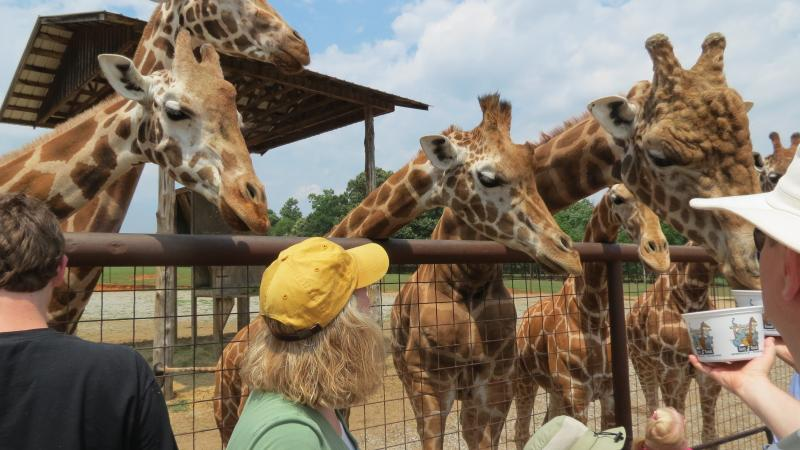 Visitors feed giraffes at the Lazy 5 Ranch near Mooresville