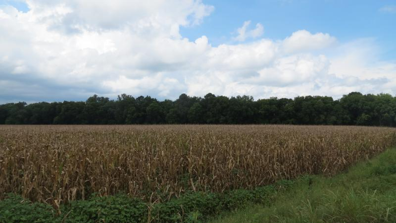 These corn fields will be flooded in the fall to provide a safe place for migrating water fowl.