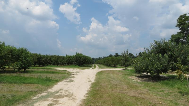 Johnson's peach orchard near Candor, N.C.