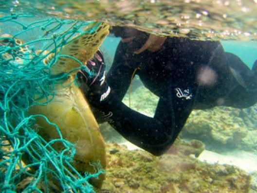 Entangled Green Sea Turtle. NOAA diver works to release a green sea turtle entangled in a derelict fishing net in Hawaii