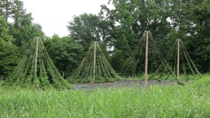 A Hops trial made with bicycle wheels at Lomax.