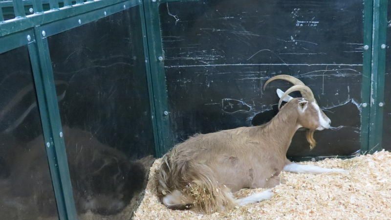 A billy goat at the Cabarrus County Fair.