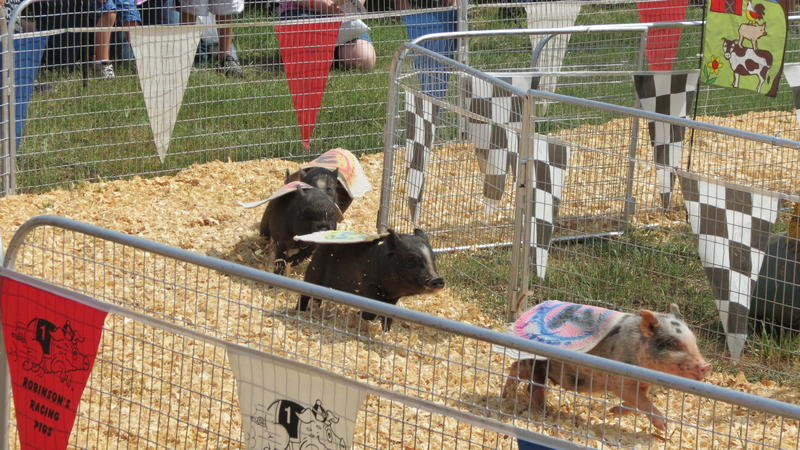 Hammy Faye Bacon won a full Oreo cookie after winning first place in the Robinson's Racing Pigs event at the Cabarrus County Fair.