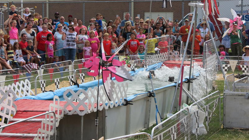 Pigs swim across a during the Robinson's Racing Pigs event.