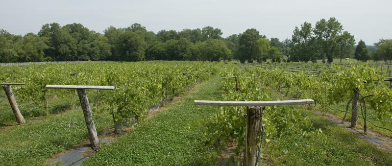Villard Blanc grapes grow at Dover Vineyards in Concord. They'll be picked later this summer.