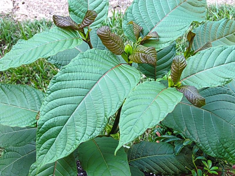 Kratom tree, green leaves