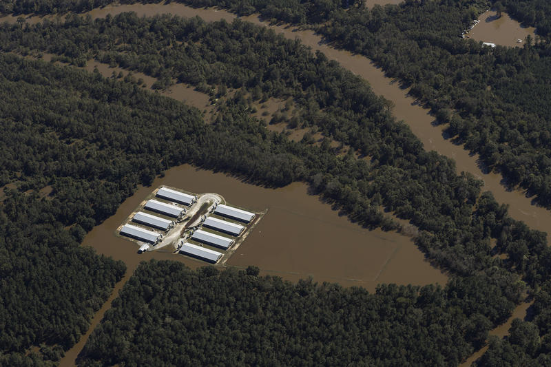 The Neuse River inundated this hog farm in Goldsboro on Wednesday.