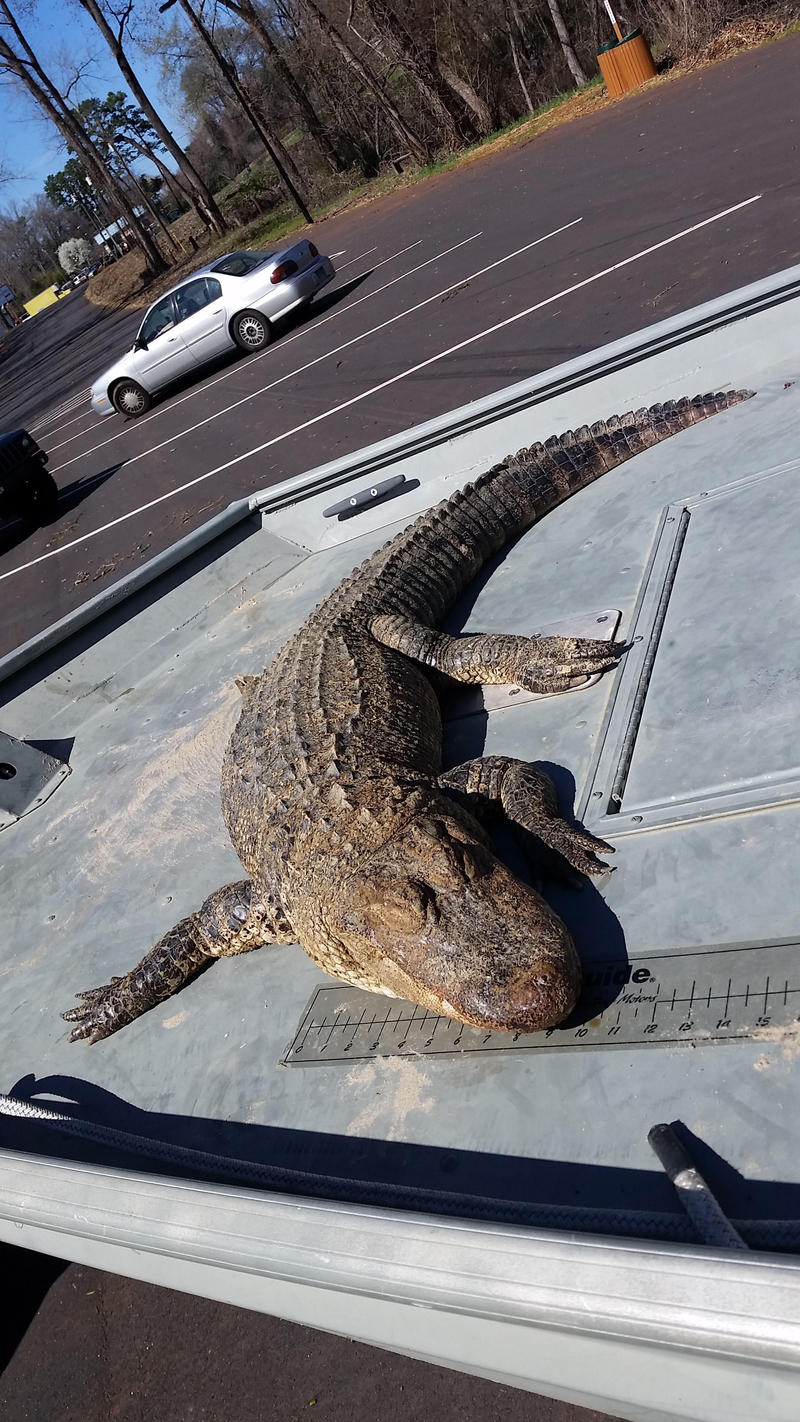The 5-foot alligator that was found in the Catawba River in February.