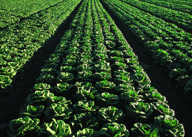 Romaine lettuce field in Yuma, Arizona.
