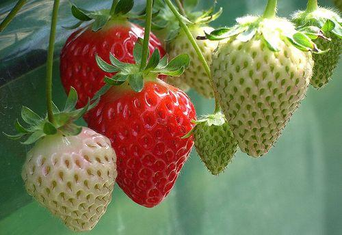 Ripening Strawberries.