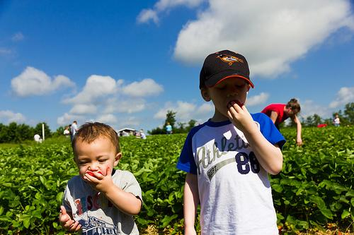 Kids enjoying fresh picked strawberries.