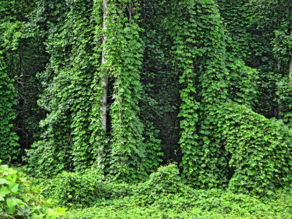 Kudzu covering a field and trees.