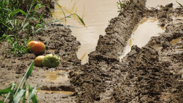 Tomatoes stick in the mud at Barbee Farms in Concord, N.C.