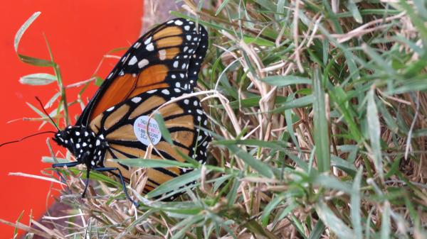 Emily is a monarch butterfly that students released on October 11. Because of her tag, University of Kansas researchers with Monarch Watch will be able to track her migration.