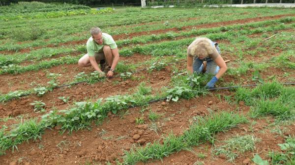 Aaron Newton and Lynn MacDougall-Fleming weed rows of sweet potatoes.