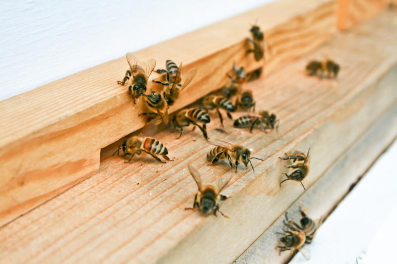 Honey bees.