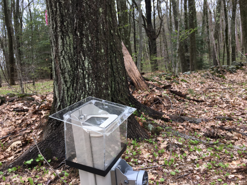A surveillance camera in a plastic housing is trained on a specific red oak in the Harvard Forest in Petersham, Mass.